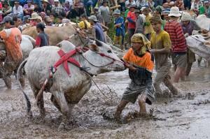 Preparing the bulls for the run