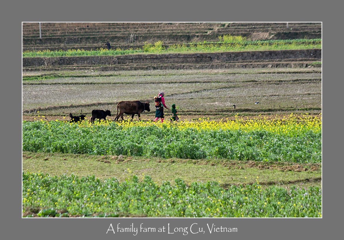 Women folk usually bring their children, cows and dogs to the field to work