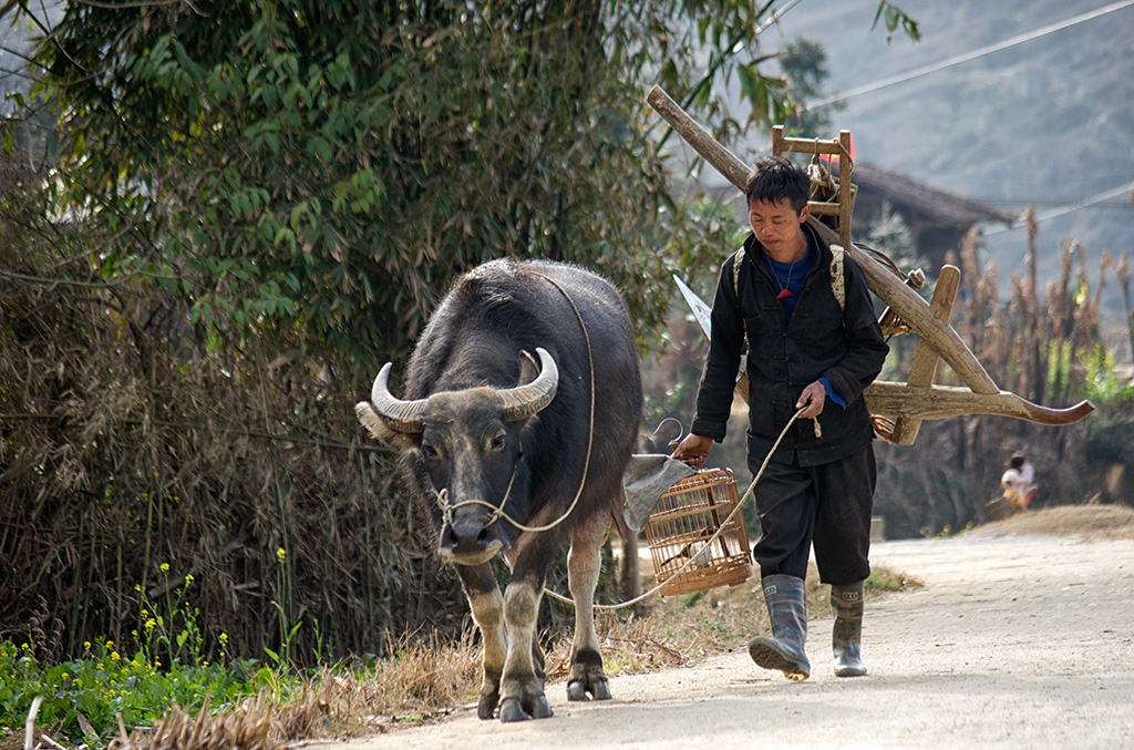 Bulls are used for ploughing of rice fields.