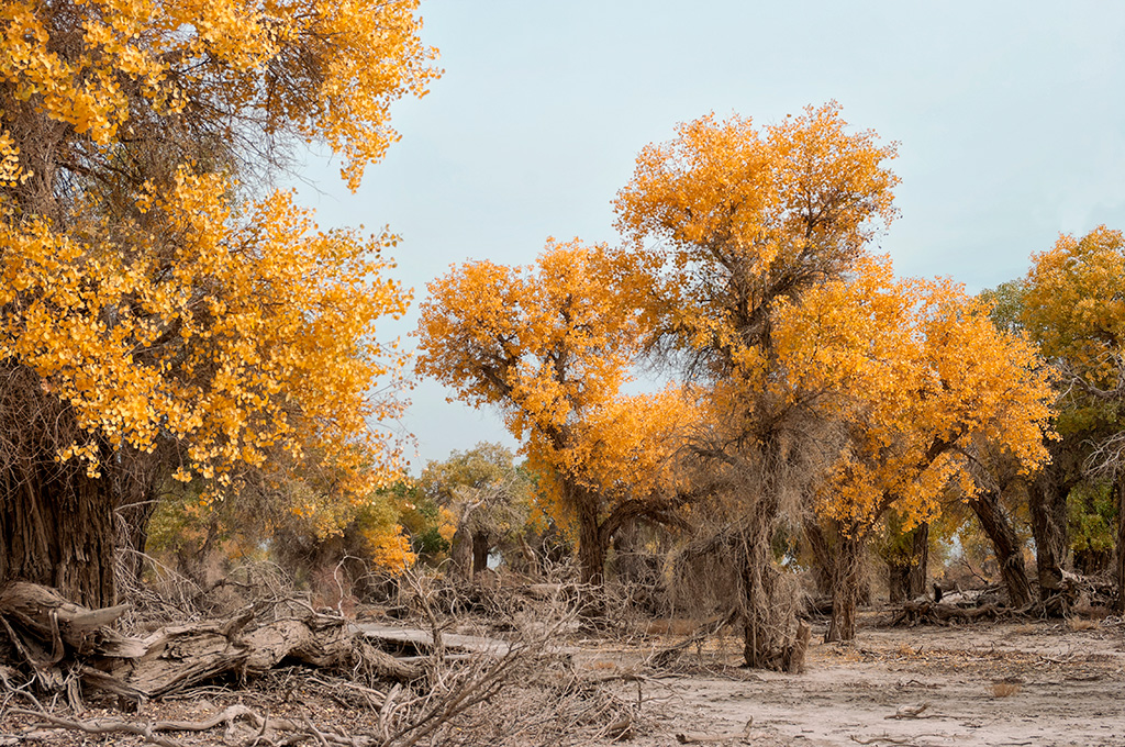 The leaves of the Huyang trees turn golden yellow in Autumn - you can find these on the edge of the Taklamakan Desert